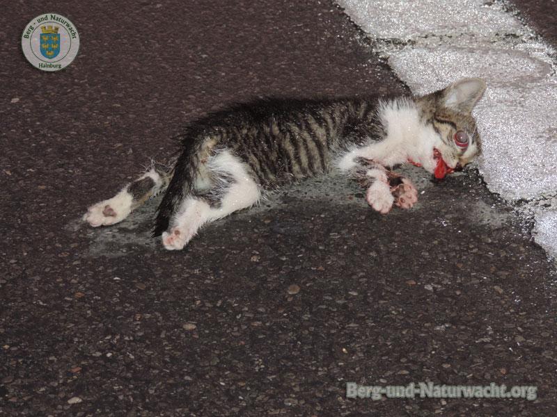Resultat einer Kollision zwischen Katze und Kraftfahrzeug | Foto: Berg-und-Naturwacht.org