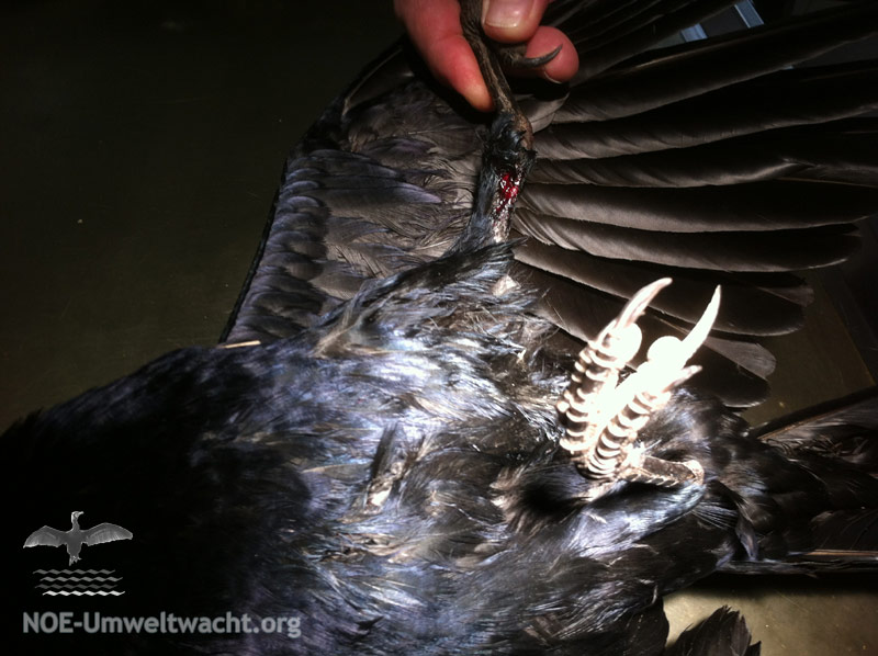 Verletzungen der Krähe nach einem Zusammenstoß mit einem Kraftfahrzeug | Foto: NOE-Umweltwacht.org