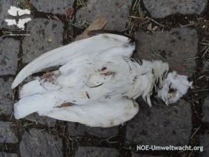 Taubenfund in Hainburg | Foto: NOE-Umweltwacht.org