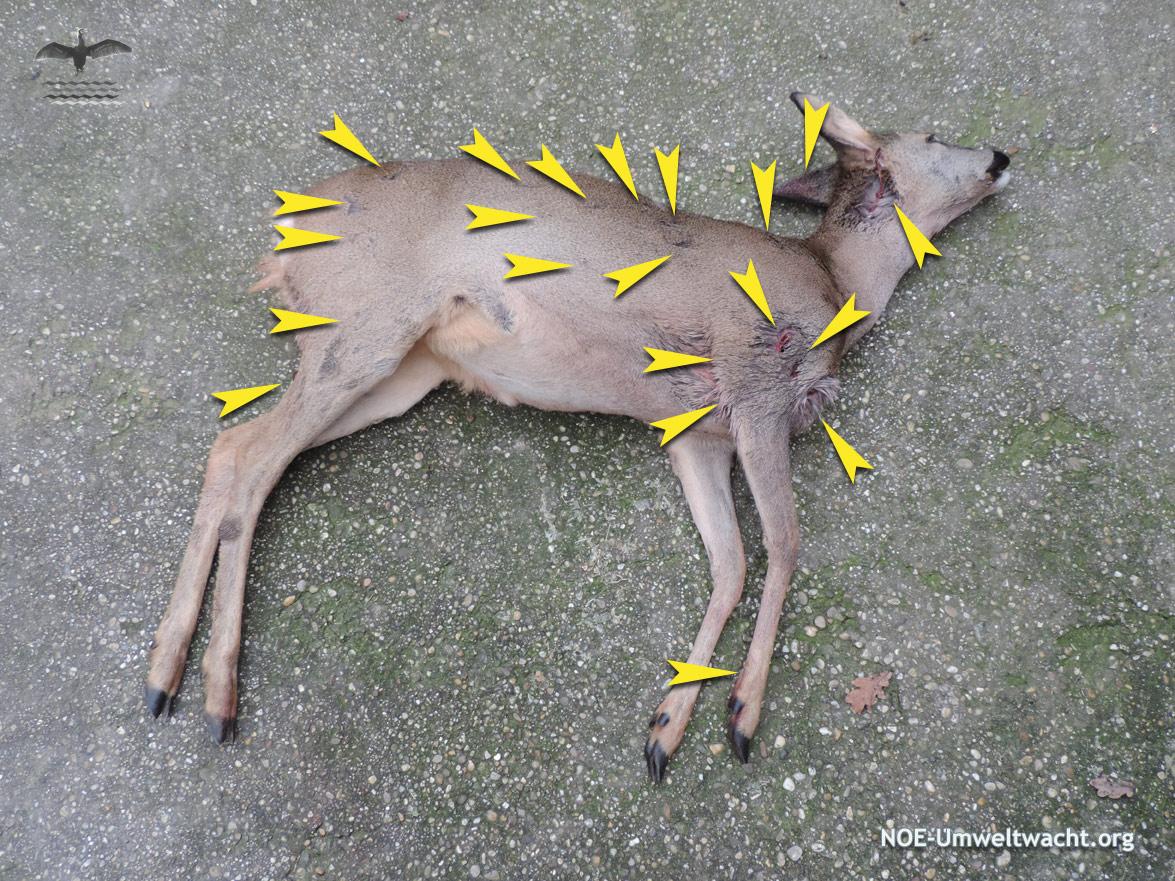 Reh von Hund angegriffen und schwer verletzt
