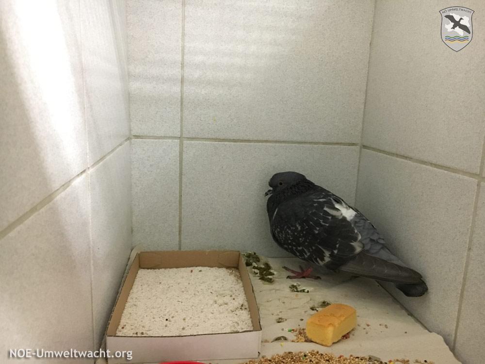 Die Taube vor ihrer Überstellung zum Gnadenplatz | Foto: NOE-Umweltwacht.org