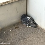 NÖ Umweltwacht Einsatz wegen verletzter Taube | Foto: NOE-Umweltwacht.org