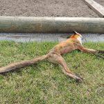 verendeter Fuchs - Einsatz der NÖ Umweltwacht | Foto: NOE-Umweltwacht.org