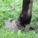 Verdacht der Tierquälerei - Vernachlässigung der Hufpflege bei Pferden | Foto: NOE-Umweltwacht.org